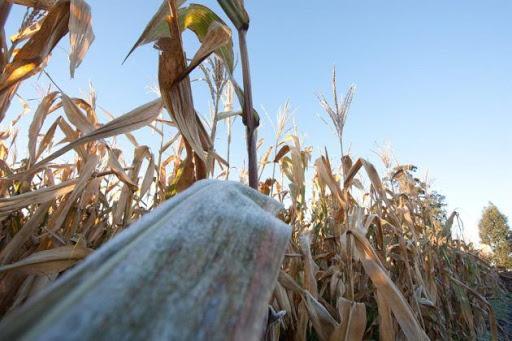 Geadas atingem lavouras de milho no Paraná e em Mato Grosso do Sul